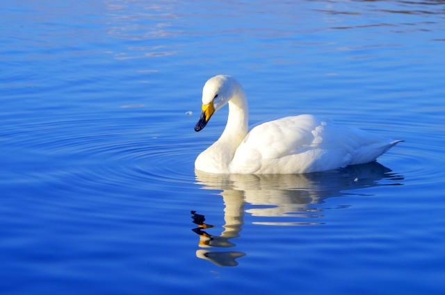 白鳥は江戸時代に食されていた