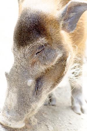 「山くじら」の隠語で、江戸時代に食べられていた猪