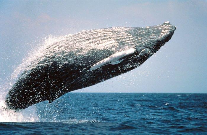 鯨(くじら)