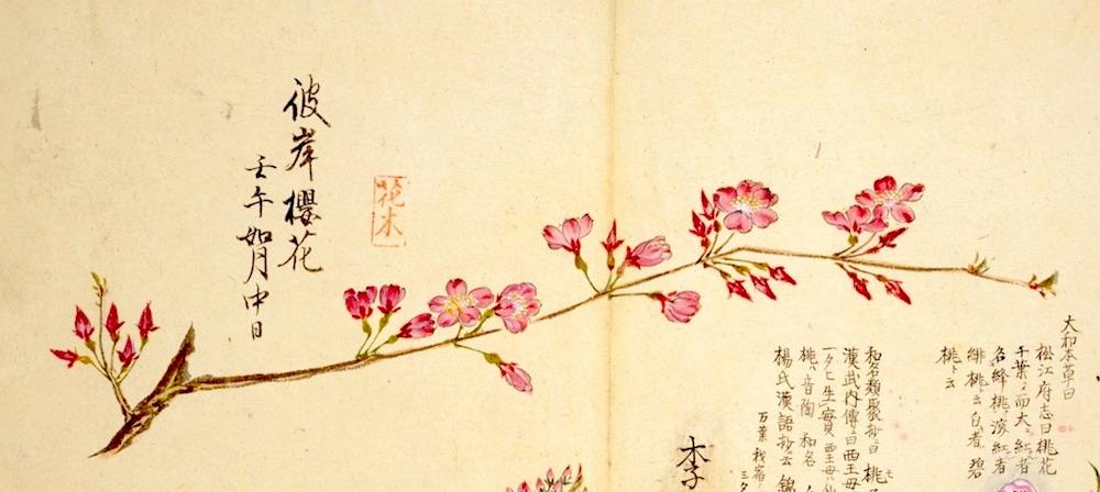 彼岸桜(江戸時代の植物図鑑『梅園草木花譜』より)の拡大画像