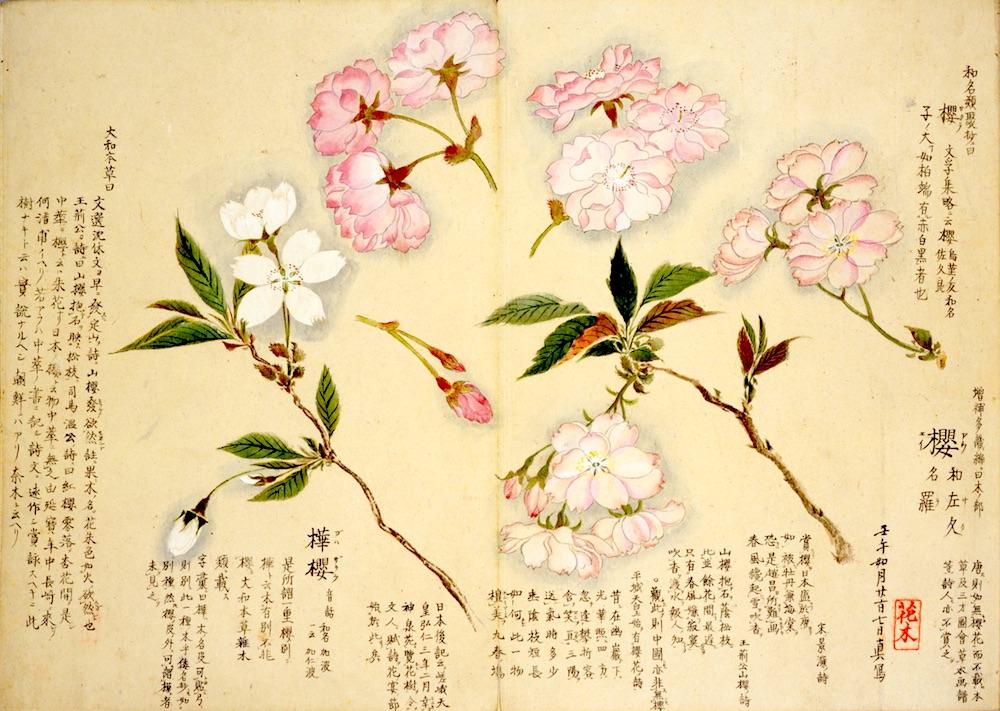 江戸時代の植物図鑑『梅園草木花譜』に描かれた桜(拡大画像)