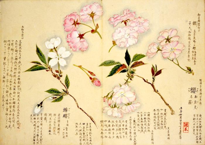 江戸時代の植物図鑑『梅園草木花譜』に描かれた桜