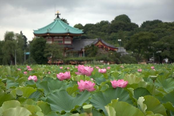 上野 不忍池に咲く蓮